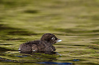 Common Loon chick swimming (Gavia immer).  Northern North America, Summer.  Sometimes also called Great Northern Loon or Diver.