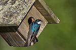 Tree swallow - male