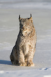 Canada lynx (Lynx canadensis) sitting on the snow-covered ice