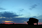 American Bison Bull at Sunrise