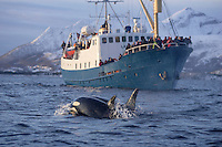 Killer whale Orcinus Orca pair surfacing near whale watching ship. Tysfjord, Arctic Norway