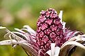 Emerging Butterbur flower {Petasites hybridus} Peak District National Park, Derbyshire, UK. March.