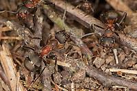 Rotbraune Wiesen-Waldameise, Große Wiesenameise, Waldameise, Ameise, Ameisen, Formica pratensis, Black-backed meadow ant