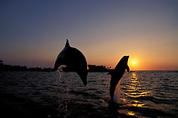 bottlenose dolphins, Tursiops truncatus (c-r), leaping in sunset Roatan, Honduras (Caribbean)