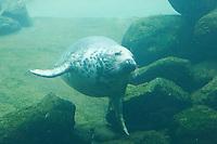 Seehund, Gemeiner See-Hund, tauchend unter Wasser, Phoca vitulina, Common seal, Phoque veau marin