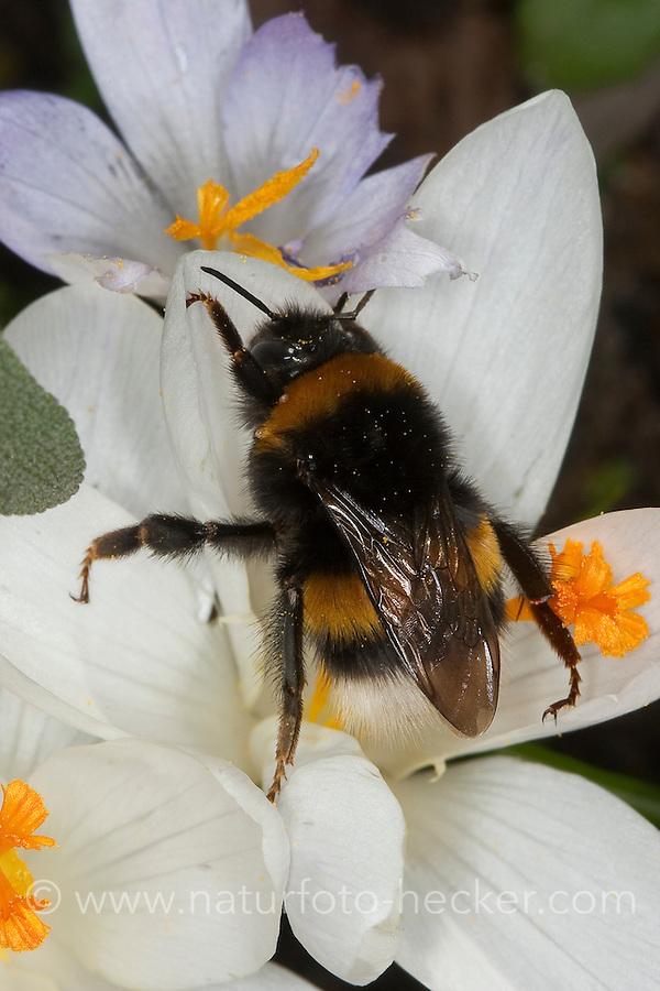 Dunkle Erdhummel, Blütenbesuch, Nektarsuche, Blütenbestäubung in Krokus, Crocus, Bombus terrestris, buff-tailed bumble bee