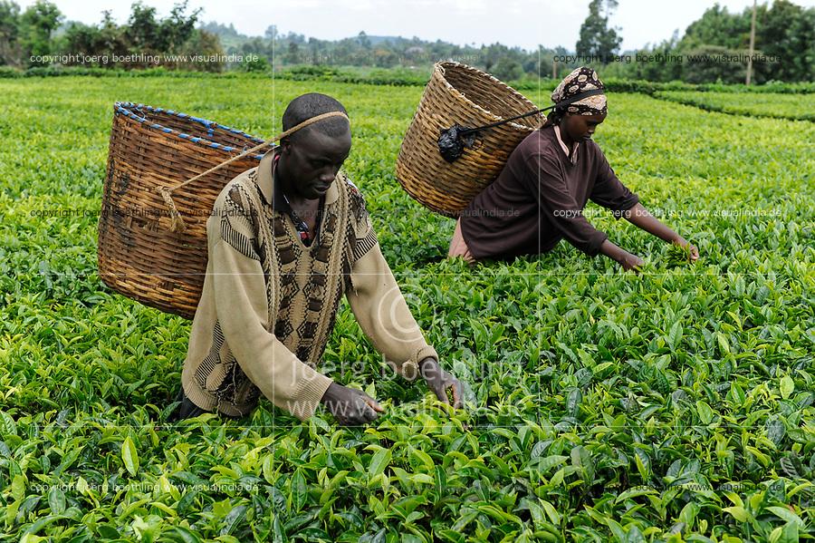 KENYA, Muranga, village Ndiriti, worker harvest tea leaves