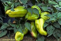 HS41-012b  Pepper - Montego variety