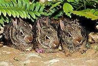 Baby rabbits lined up in rock garden hiding beneath ferns, Missouri USA