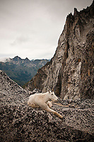 Mountain Goat (Oreamnos americanus) with kid, The Enchantments, Alpine Lakes Wilderness, WA.