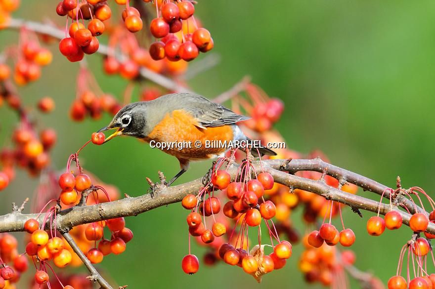 00980-021.15 American Robin is feeding on crab apples.  Backyard, landscape, fruit, food, manage.