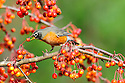 00980-021.15 American Robin is feeding on crab apples.  Backyard, landscape, fruit, food, manage.