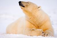 polar bear, Ursus maritimus, scenting, 1002 coastal plain of the Arctic National Wildlife Refuge, Alaska, polar bear, Ursus maritimus