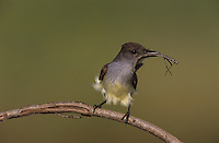 Brown-crested Flycatcher, Myiarchus tyrannulus ,adult with walking stick, The Inn at Chachalaca Bend, Cameron County, Rio Grande Valley, Texas, USA, May 2004