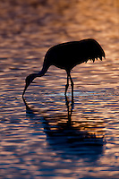 Sandhill Crane (Grus canadensis) silhouette at sunset