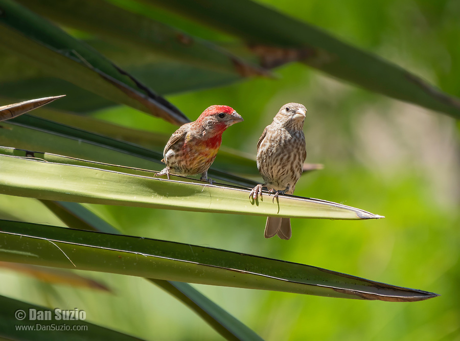 A pair of House Finches, Haemorhous mexicanus, perch on a yucca in the Desert Botanical Garden, Phoenix, Arizona
