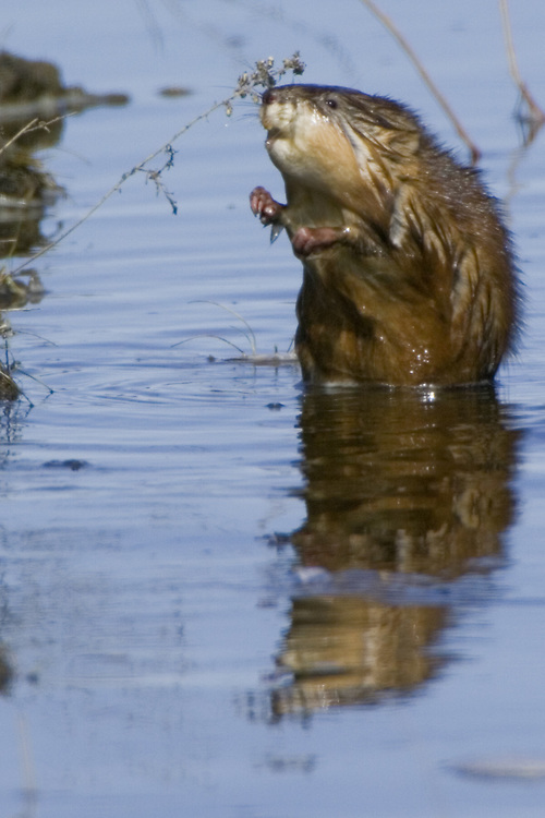 Muskrat stopping to smell the dried weeds