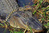 American Alligator (Alligator mississippiensis) mother with young.  Texas.