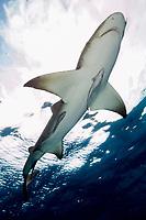 Lemon shark against clouds. Negaprion brevirostris, Tiger Beach, Bahamas, Caribbean Sea, Atlantic Ocean