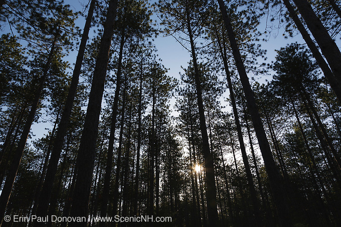 The silhouette of a Red Pine - Pinus resinosa - forest in New England USA.