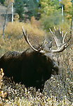 Moose bull, Wyoming