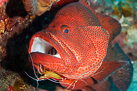 tomato grouper or tomato cod, Cephalopholis sonnerati, being cleaned by Pacific cleaner shrimp, Lysmata amboinensis, Chichi-jima, Bonin Islands, Ogasawara Islands, UNESCO World Heritage Site, Tokyo, Japan, Pacific Ocean