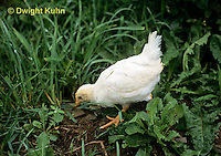 DG13-065z  Chicken in barnyard - Immature chick getting adult feathers - pecking for food - White Leghorn