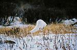 Arctic Fox leaps after prey, Churchill, Manitoba, Canada
