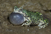 Western Green Toad, Bufo debilis insidior, male at night calling, Portal, Chiricahua Mountains, Arizona, USA