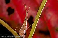 Pyrgomorph Grasshopper (Omura congrua) on a bush in lowland tropical rainforest, Manu National Park, Madre de Dios, Peru.
