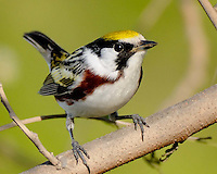 Chestnut-sided Warbler, South Padre Island, TX