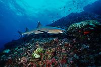 whitetip reef shark, Triaenodon obesus, Cocos Island, Costa Rica, East Pacific Ocean