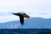 Southern Giant Petrel in flight off Tasmania