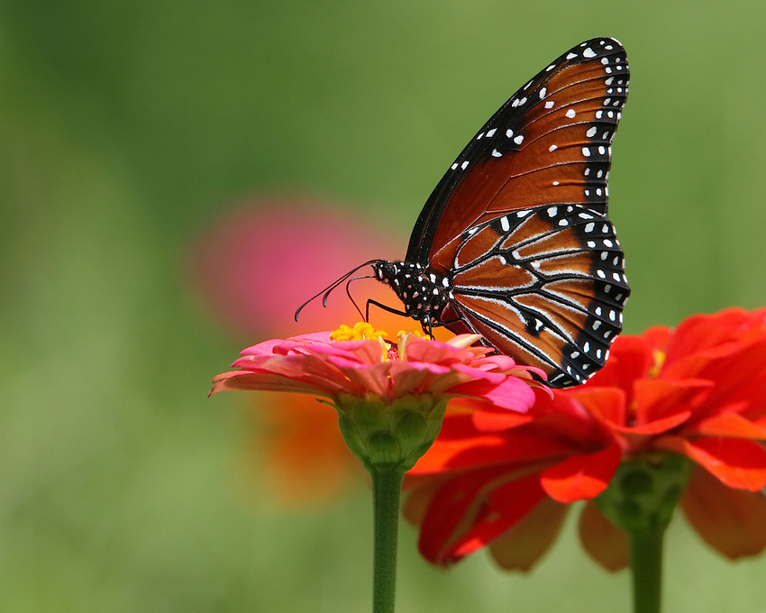 Queen Butterfly with a splash of color, from Independence Day weekend.