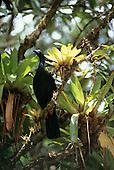 Monte Verde, Costa Rica. Black tropical bird and bromeliads in the rainforest.