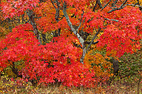 Intimate Landscape of a brilliant maple tree on the Keewenaw Peninsula in Upper Michigan.