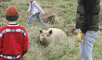 From left, Collins, Catherine and Ramona Hull check on their Tamworth Cross pig laying low in the fields surrounding Gryffon's Aerie farm in Orange, Virginia. The grass fed cows are said to be lean and healthy catering to the demands for higher quality beef. family pig