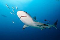 Caribbean Reef Shark (Carcharhinus perezii) St Maarten, Sint Maarten, Netherland Antilles, Caribbean Sea, Atlantic