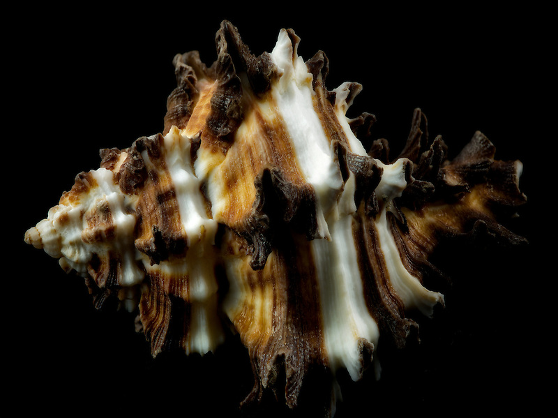 Close up of Murex Endiva Long Spine sea shell.