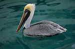 Portrait of a brown pelican floating on Florida waters.
