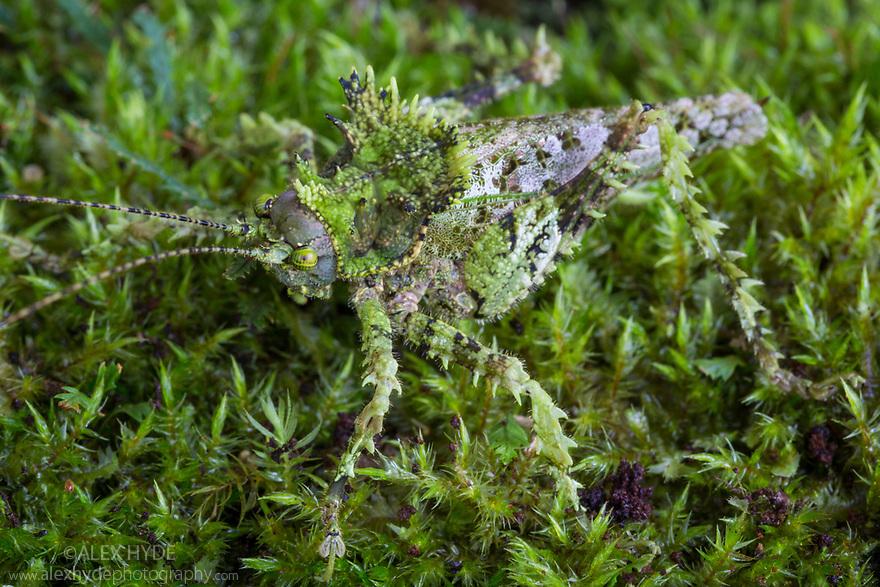 Moss Mimicking Katydid {Haemodiasma sp.} Cordillera de Talamanca mountain range, Caribbean Slopes, Costa Rica. May.