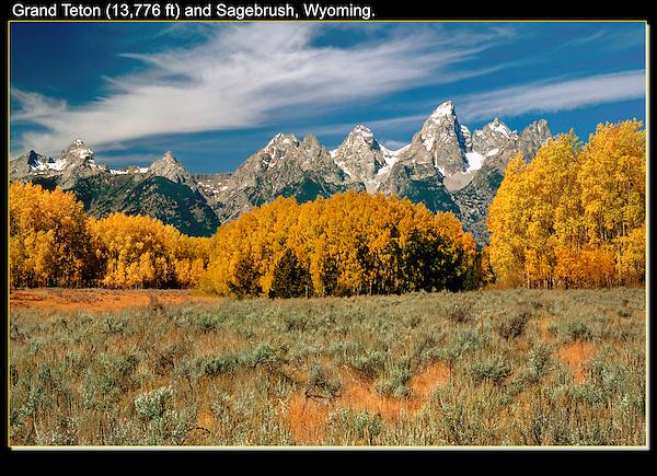 Aspen trees in autumn, Grand Teton Park, Wyoming.