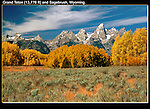 Aspen trees in autumn, Grand Teton Park, Wyoming.