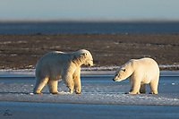 Young male Polar Bears (Ursus maritimus) on the sea ice. Bear on the left was testing the thickness of the ice by rising up on his hind legs, lifting his front paws and crashing them down into it. He soon learned it wasn't yet solid. The bear on the right was also in testing mode. He was testing the other Bear to determine whether he had found a sparring partner.