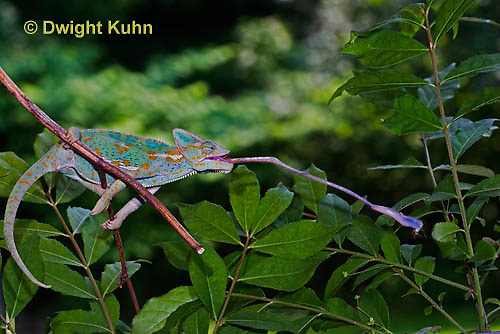 CH38-547z Female Veiled Chameleon tongue flicking to catch insect prey, Chamaeleo calyptratus, for sequence see CH38-542z and CH38-546z