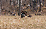 Tom turkey strutting for two hens in northern Wisconsin.