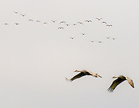 Gift card photo of two Sandhill Cranes (Grus canadensis) are in flight against a gray sky with a herd or sometimes called a construction of cranes in flight in the background.