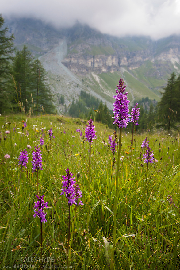 Spotted Heath Orchids (Dactylorhiza maculata). Aosta Valley, Monte Rosa Massif, Pennine Alps, Italy. July.