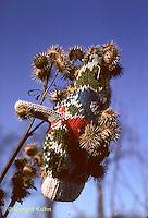 BD03-001a  Burdocks - burdock seeds on glove, seed dispersal - Arctium minus