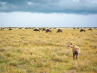 spotted hyena, Crocuta crocuta, adult with wildebeests in Serengeti National Park, Tanzania, Africa